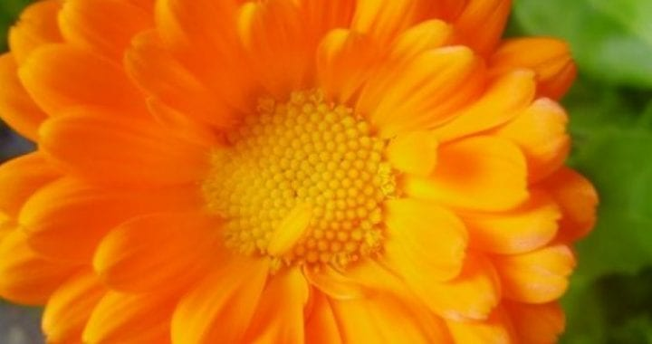 Calendula_officinalis_0_0_R-700x525-3656797646