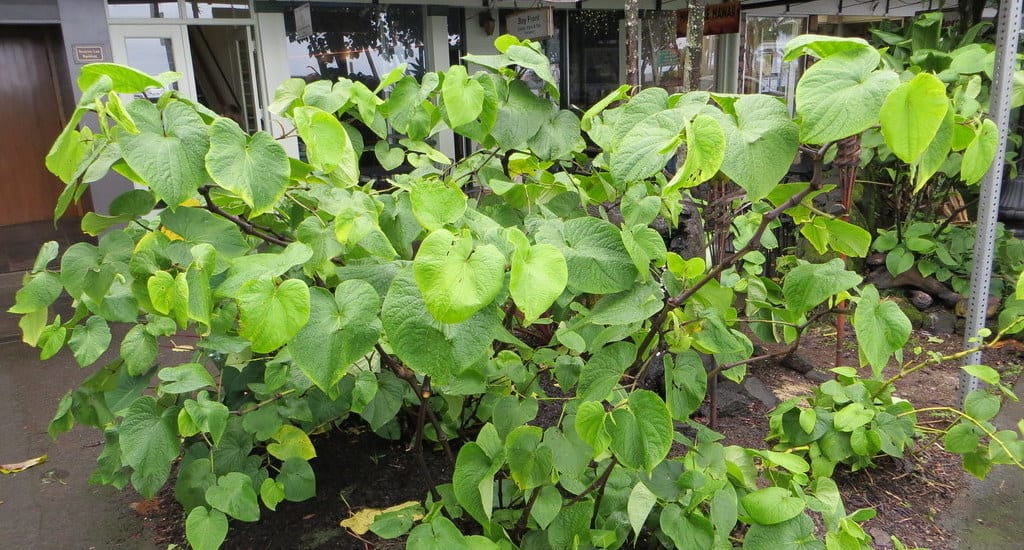 Medicinal Hawaiian Plants;Photo of Awa plant