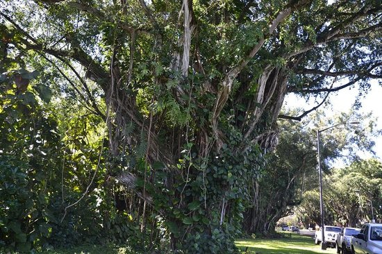 Banyan Drive, one of Big Island's spookiest places