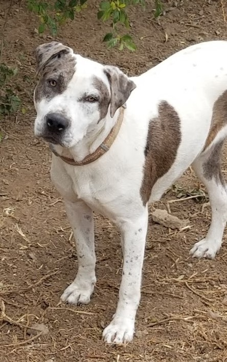 a white, grey spotted dog available for adoption from KARES