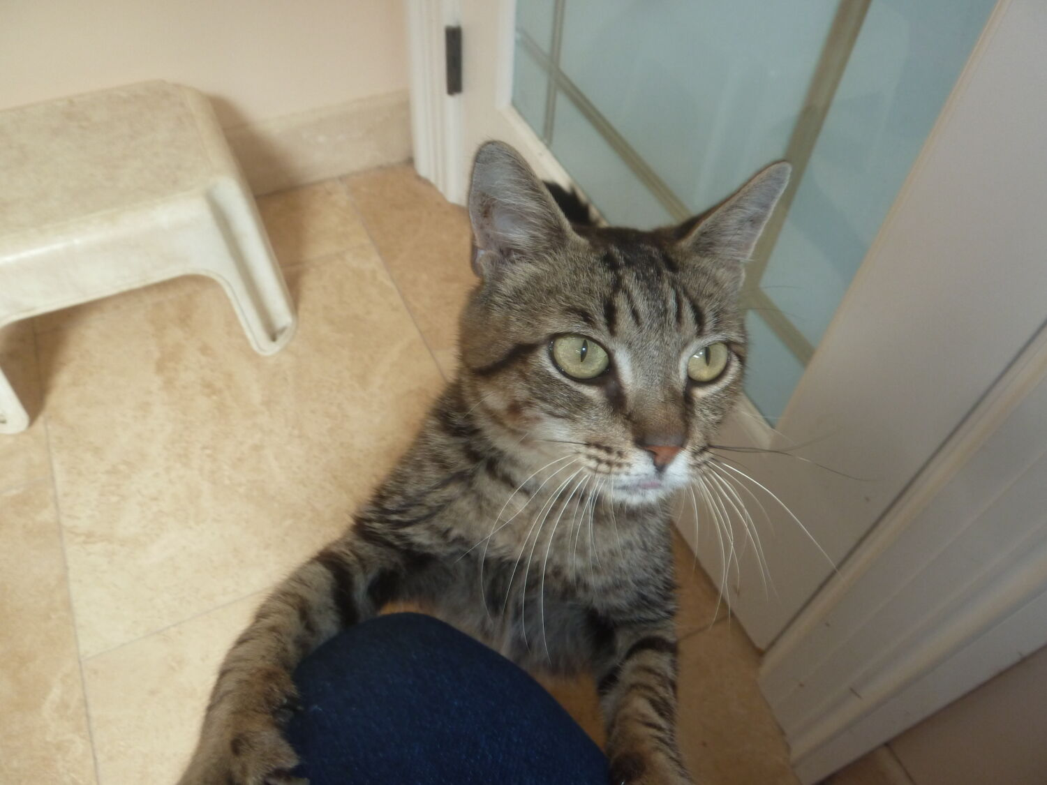 tabby cat - currently up for adoption from KARES
