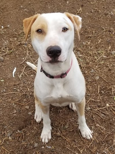 a white, tan spotted dog available for adoption from KARES